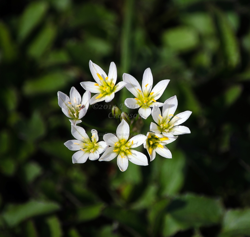 False Garlic or Crowpoison, Nothoscordum bivalve