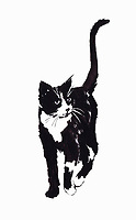 Illustration of black and white cat