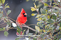 01530-20620 Northern Cardinal (Cardinalis cardinalis) male in American Holly (Ilex opaca) tree in winter Marion County, IL