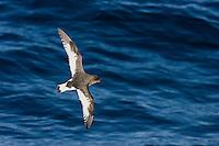 Antarctic Petrel - Thalassoica antarctica