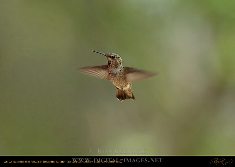 Anna's Hummingbird Female in Hovering Flight, Indian Peak Ranch, Mariposa, California
