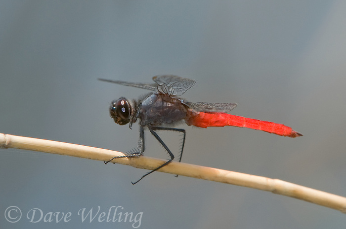 389050005 a wild male mexican scarlet-tail planiplax sanguiniventris perched on a small stick in bentsen rio grande valley state park in south texas