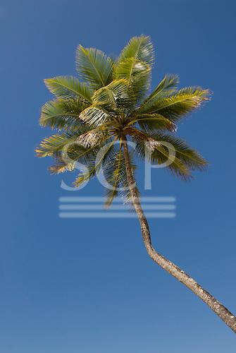 Bahia State, Brazil. Serra Grande beach (Praia da Pe, Pe de Serra Grande); palm tree against a blue sky.