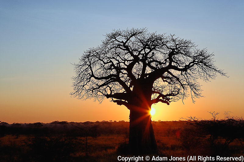 African baobab tree, Adansonia digitata, silhouetted at sunset, Tarangire National Park, Tanzania, Africa