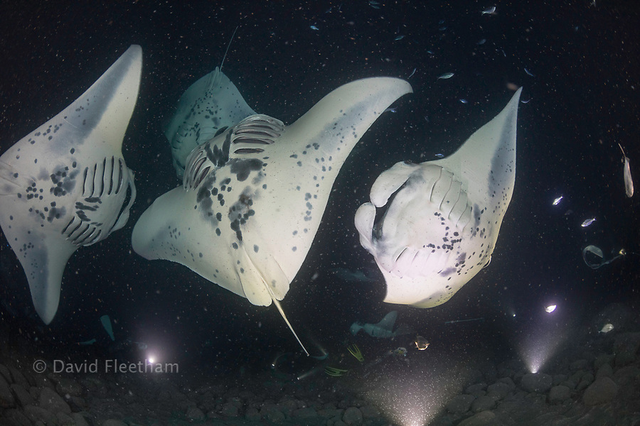 Reef manta rays, Manta alfredi, feed over baskets of lights used to attract plankton off the Kona Coast of the Big Island, Hawaii.