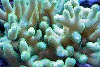 Aquarium corals. Upscales store. Tualatin. Oregon