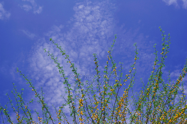 Blooming Huisache trees (Acacia farnesiana), Choke Canyon SP, Live Oak County, Texas, USA, March 2007