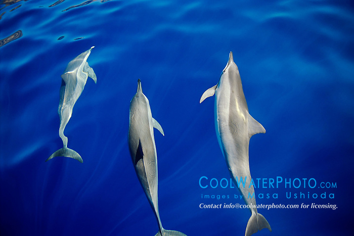 long-snouted spinner dolphins, Stenella longirostris, bow-riding, off Kona Coast, Big Island, Hawaii, Pacific Ocean