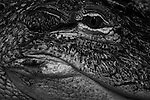 Close-up of  alligator's eye at Reptile zoo
