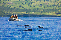 Logging pod of Short-finned pilot whales, Globicephala macrorhynchus, being approached by a commercial whale watching boat, off Kona, Big Island, Hawaii, Pacific Ocean.