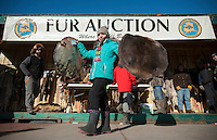 An Alaska Trappers Association auction assistant displays beaver pelts during the Rondy fur auction in downtown Anchorage.