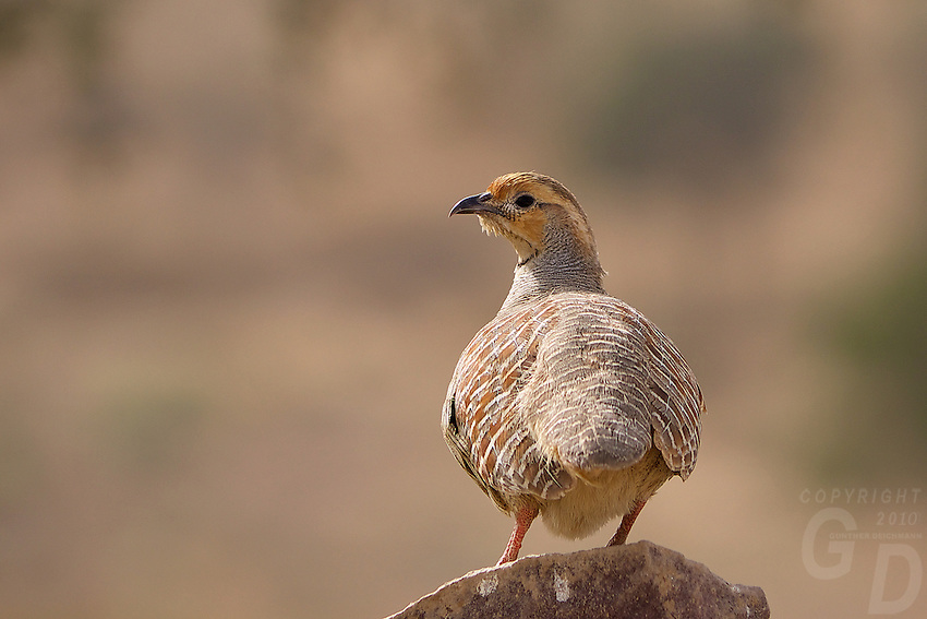 Wild Birds in the Thar Desert, near Manvar, Rajasthan, India