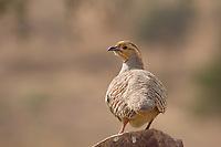 Wild Birds in the Thar Desert, near Manvar, Rajasthan, India