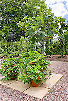 Strawberry Pegasus in strawberry pot container garden on patio, in flower in spring, fruit plants, fig tree Ficus, growing edibles in containers