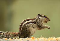 Stock image of Cute squirrel standing over the sweet corn grains looking alert glancing keenly.
