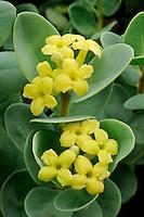 Akia (Wikstroemia uva-ursi)  Native<br /> Waikoloa<br /> South Kohala<br /> Island of Hawaii, Hawaii