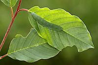 Zitronenfalter, Zitronen-Falter, Raupe, Gonepteryx rhamni, brimstone, brimstone butterfly, caterpillar