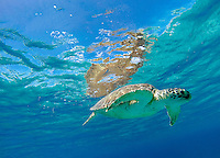 Green Sea Turtle <br />