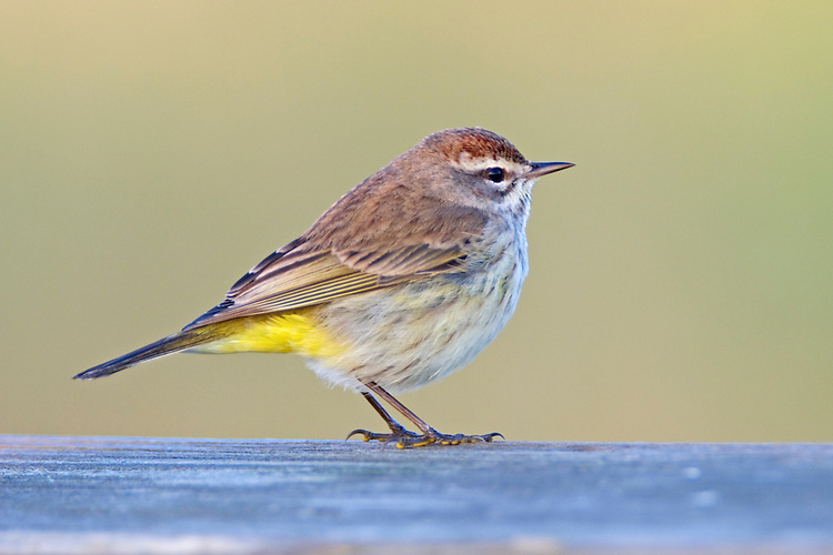 A Palm Warbler sits in the morning sun at the Birdwalk at Myakka River State park in Florida.