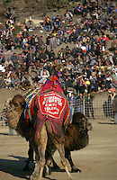 Selcuk, Turkey, 21/01/01..The traditional sport of camel wrestling is popular throughout western Turkey in the winter months; the largest event is the annual festival held in Selcuk on the third weekend of January. Two camels become entangled as they struggle.