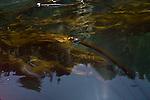 Puget Sound, Washington State, San Juan Islands, Orcas Island, Rosario Strait, Bull Kelp,