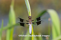 06649-003.01 Common Whitetail (Plathemis lydia) male on Blue Flag Iris (Iris virginica) in wetland Marion Co.  IL