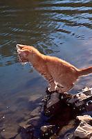 Tabby tiger kitten fishing at lake, MIssouri USA