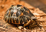 This radiated tortoise was available for sale for $2,000 and the right paperwork at the Reno Repticon event held on Sunday afternoon, February 10, 2013 at the Reno Livestock Events Center in Reno, Nevada.
