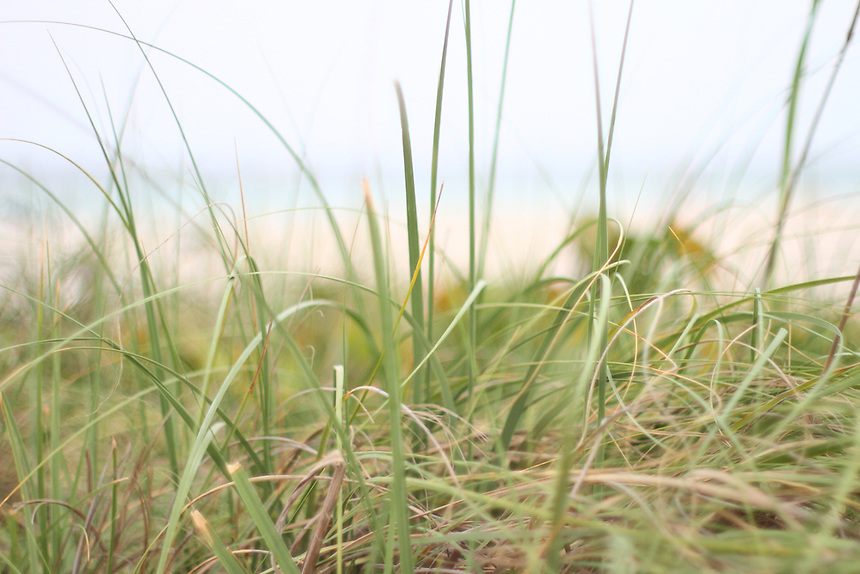 dune grass on the beach