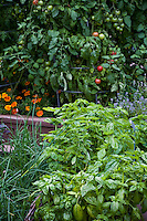 Sweet Basil; Ocimum basilicum; culinary herb in organic raised bed garden with Garlic Chives; tomatoes and marigold flowers companion plants