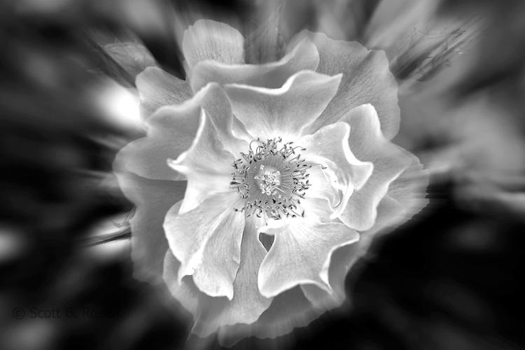 Close-up of roses, Portland Rose Garden, Portland, Oregon