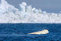 beluga whale, Delphinapterus leucas, swims through an open lead in the pack ice during spring migration, Chukchi Sea, outside the coastal village of Barrow, Arctic Alaska