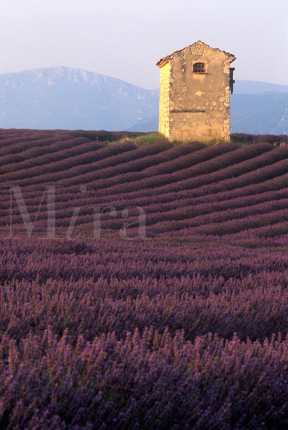 Lavender field near Valensole in southern France.