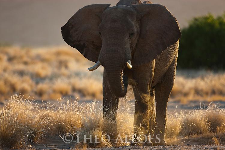 Namibia;  Namib Desert, Skeleton Coast, Hoanib River, desert elephant bull (Loxodonta africana) eating grass