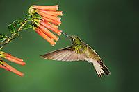 Buff-tailed Coronet (Boissonneaua flavescens), adult feeding from flower,Mindo, Ecuador, Andes, South America