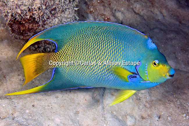 Holacanthus hybrid angelfish, Townsend angelfish, Key West, Florida