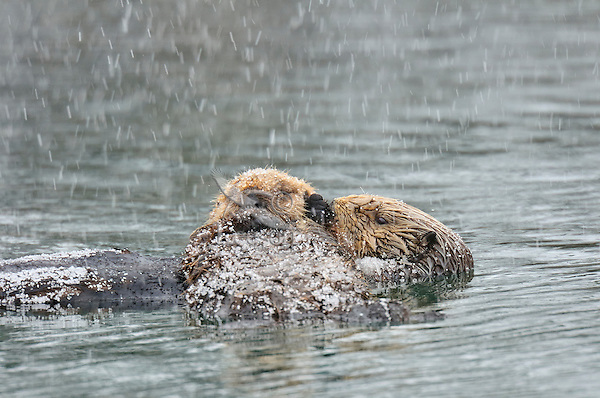 Alaskan or Northern Sea Otter (Enhydra lutris) mother and pup during late winter snow.