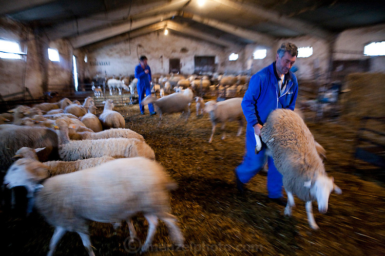 On a cold, foggy morning three days before Easter, Miguel Angel Martinez Cerrada escorts a sheep out of the barn to the vacant building they use as a slaughter house near their ranch in the tiny village of Zarzuela de Jadraque, Spain. (From the book What I Eat: Around the World in 80 Diets.)