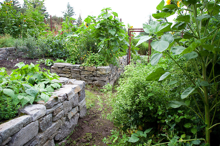 """string beans, sunflowers, potatoes, sugar snap peas and yellow strawberries (Fragariea vesca """"Alpine Yellow"""" all going strong in the vegetable garden."""