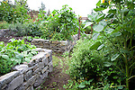 "string beans, sunflowers, potatoes, sugar snap peas and yellow strawberries (Fragariea vesca ""Alpine Yellow"" all going strong in the vegetable garden."