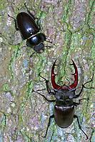 Hirschkäfer, Männchen und Weibchen, Paar, Pärchen, Hornschröter, Hirsch-Käfer, Lucanus cervus, Stag beetle, male and female, Schröter, Lucanidae, Stag beetles