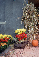 Autumn fall scene with old barrel planter containers of chrysanthemums, pumpkins, dried corn, next to house wall, brick patio