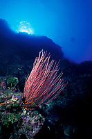 red whip coral or sea whips (gorgonian coral), Ellisella sp., Palau (Belau), Micronesia, Western Caroline Islands (Western Pacific Ocean)
