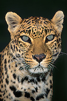 654309092 portrait of an adult male african leopard panthera pardus - animal is a wildlife rescue - species is native to sub-saharan africa