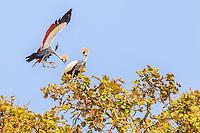 Africa, Uganda , Bunyonyi lake, gru coronata ( Balearica regolorum gibbericeps Grey Crowned Crane