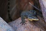 A Kimberley Rock Monitor Lizard, Jar Island, Kimberley Western Australia