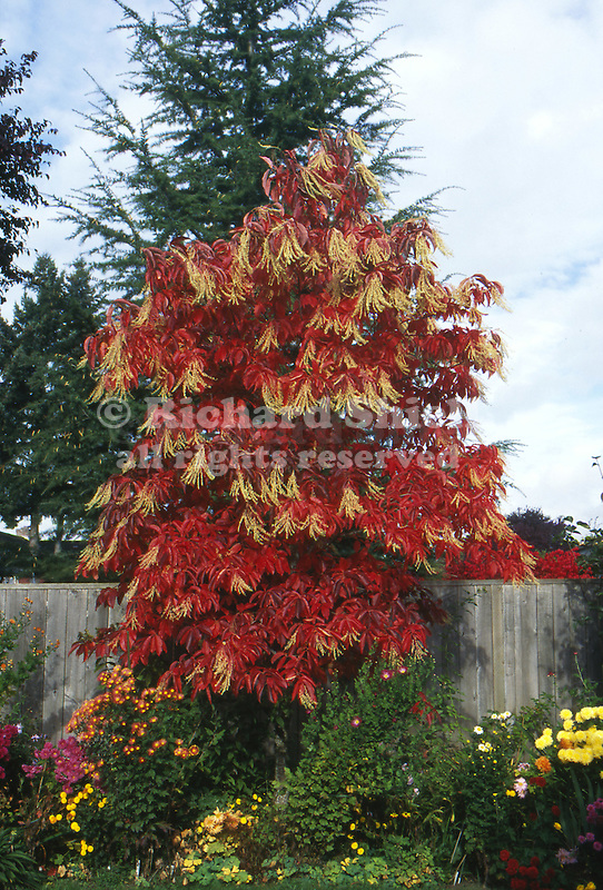 11160-CB Sourwood or Sorrel Tree, Oxydendron arboreum, in fall color with Hardy Mums, at Camus, Washington