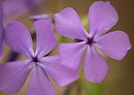 Blue Phlox wildflower