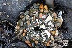 Sea anemones with pebbles