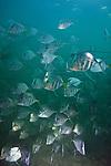 Selene vomer, Lookdown, Florida Keys